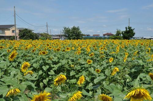 2011.08.28_himawari_006.jpg